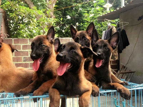 Giải mã ý nghĩa việc chiêm bao thấy đàn chó