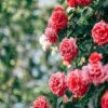 Mơ thấy hoa hồng thì sao đánh con số gì dễ trúng lớn?